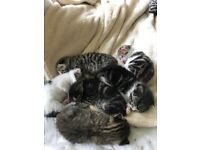 Six beautiful kittens for sale ready for new homes on the 20th may