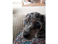 Dachshund/whippet cross breed puppy