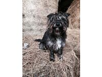 LOST BLACK TERRIER MINTLAW ARDALLIE