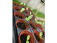 Sunflowers plants