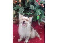 2 years old terrier/pomeranian