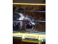 Grey and white rabbit for sale