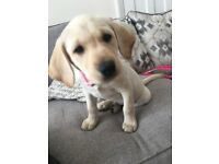 5 month old golden pedigree labrador