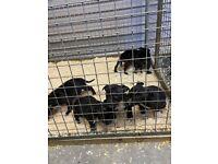Staffordshire bull terrier pups