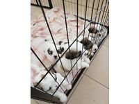Stunning Shih Tzu cross Bichon Frise puppies for sale just 2 boys left
