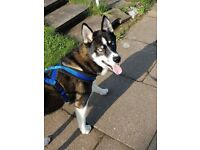 husky male lovely and caring dog, great with kids only selling due not having anuff time for him