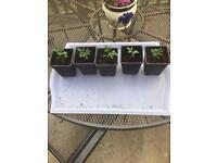 Free tomato plants Selston