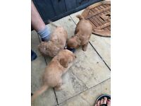 fully health tested minature F1b labradoodle puppies