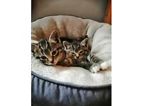 Beautiful Bengal X Tabby Kittens in Islington