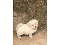 Full bred Inchon frise pup read description