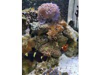 MAROON CLOWN FISH X 2