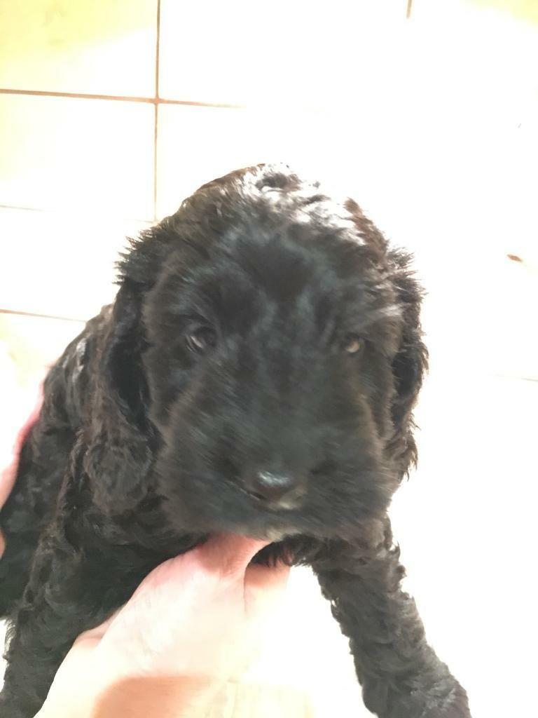 Beautiful F1 Black Cockapoo puppy 9wks old