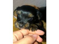 Yorkshire terrier puppies 2 boys left