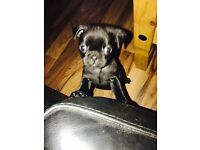 3/4 pug puppy last girl ready now !