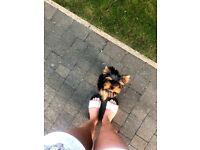 Yorkshire Terrier Puppy( Kc Registered