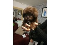 3 girls left shih poo puppies imperialbloodline chipped,vaccinations done resdy to go to good homes