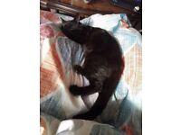 Missing black little kitten