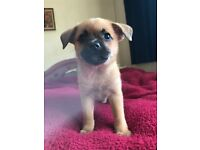 Pug Cross Puppies ONE BOY LEFT