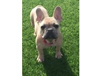 Stunning Quality Trained French Bulldog Puppy