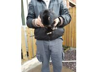 Black male rabbit approx 6mth old and hutch