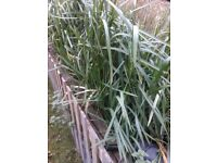 Pond plants reeds reedbed free to collect (glyceria maxima)