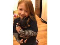 Puppy - Miniature Pinscher x Chihuahua