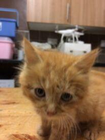 ginger long haired fluffy kittens