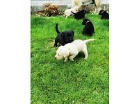 Purebred Labrador puppies black and golden
