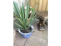 Two yucca plants in pots