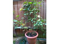 BIG potted rose plant