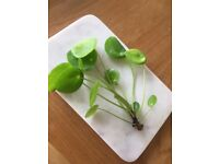 Chinese money plant (Pilea Peperomioides) cuttings