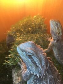 5 months old male and female. Homemade viv