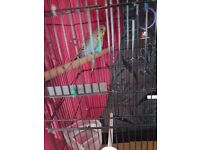 pair of young budgies with large cage