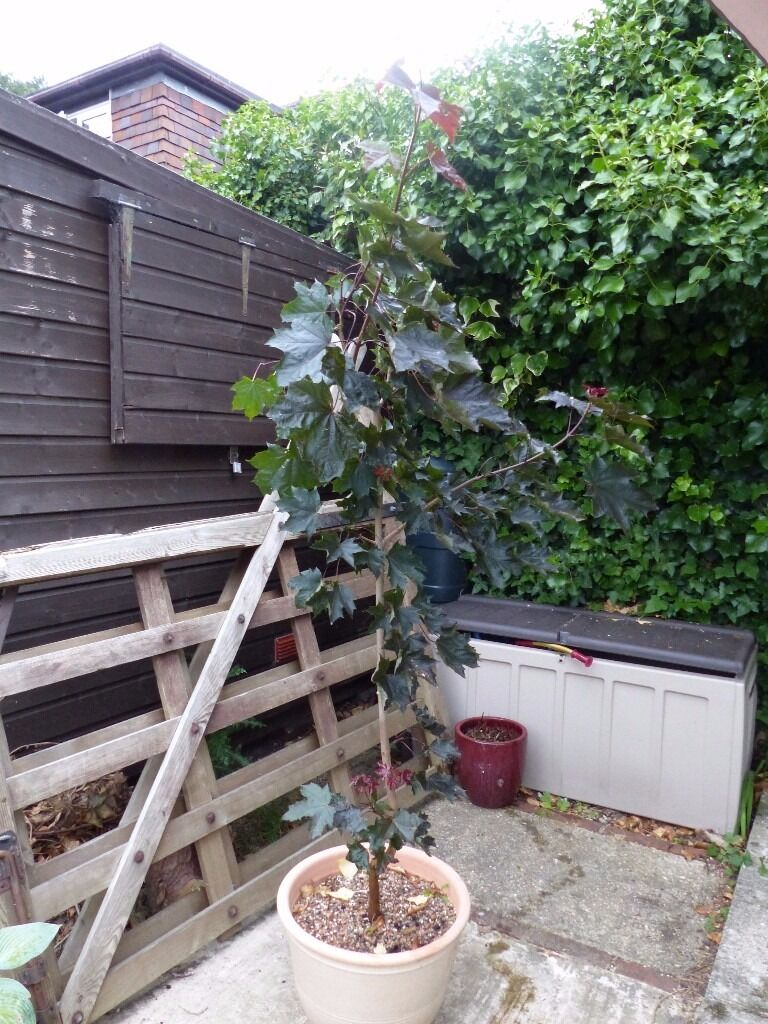 Norway Maple Acer Crimson King 1.5min North Baddesley, HampshireGumtree - Unwanted purchase, lovely tree, good size and healthy, planted up in ericaceous compost. Suitable for landscaping, parks, and large gardens. Leaves turn red in full sun. NB. Pot not included. Purchased for £30.00