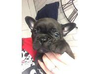Kennel Club Registered Male French Bulldog Puppy