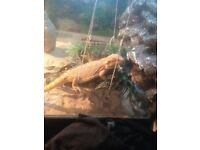 Bearded dragon 9momths old comes with viv