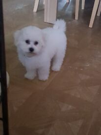 Bichon Frise 10 week old puppy girl