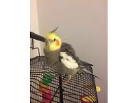 Missing cockatiel Dexter