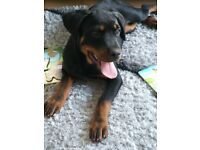 Beautiful rottweiler pup 6 months old