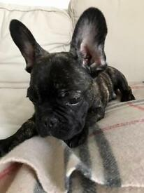 Boy French Bulldog for sale