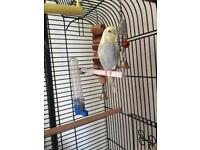 Budgie 1.5 years old fit and healthy with cage and stand