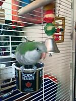 Quaker Parrot 2 years old female