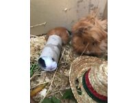 2 female guinea pigs looking for good home
