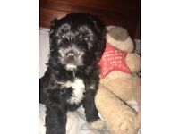 Fluffy Collie-Doodle female puppy for sale
