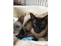 Siamese kittens chocolate points & lilac points