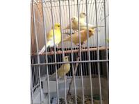 A family Canaries for sale from 15£ each