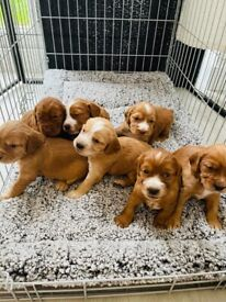 5 Stunning cocker spaniel boys left to reserve