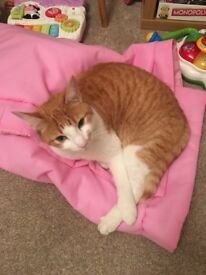 Looking to rehome ginger boy cat
