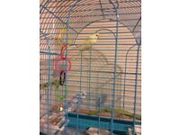 2 baby budgies for sale with cage