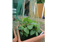 Large pots of growing french beans with netting